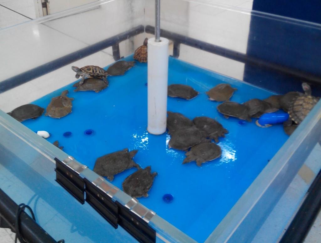 live turtles